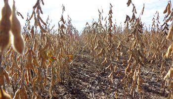 La soja cayó con fuerza en el mercado local