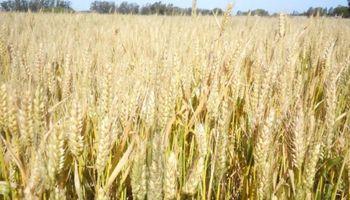 Margen bruto del trigo en Córdoba volvió a terreno positivo