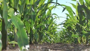 Trips y cogollero: las principales plagas a monitorear en soja y maíz