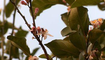 La miel monofloral de limón toma protagonismo en el mercado