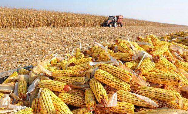 Se espera una gran cosecha de maíz safrinha.