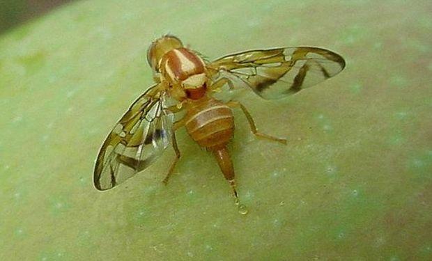 Las moscas de la fruta son un importante problema para la fruticultura en todo el mundo.