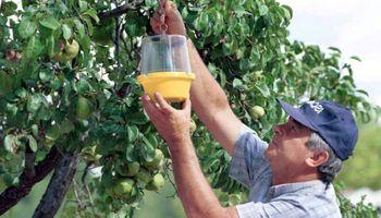 Declaran emergencia en Mendoza por aparición de Mosca de los Frutos