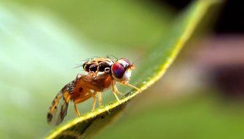 Mendoza exportará 440 millones de moscas estériles a Marruecos