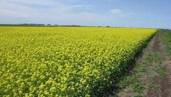 La primera semilla de mostaza ya cuenta con marca registrada en Argentina