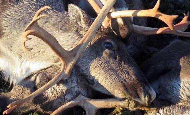 Es usual que los renos se concentren en zonas reducidas.