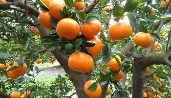 Obtienen 16% más de rinde en lote de mandarinas apostando a biosoluciones