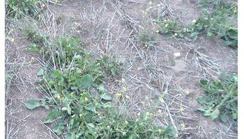 Malezas: alertan por un nabo amarillo que tendría resistencia múltiple