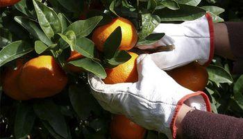 La citricultura argentina se enfrenta a su peor enemigo