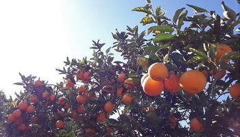 Presión fiscal en las economías regionales: el 38,3% del precio de la naranja son impuestos