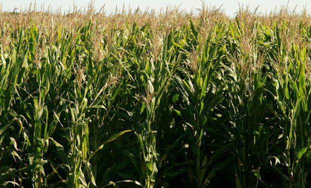 Soja y maíz: cuáles fueron los rindes con un evento Niña similar al de este año
