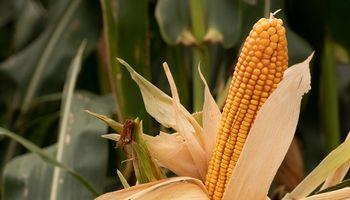 Cuál es la gran novedad para maíz que presenta NK en Aapresid