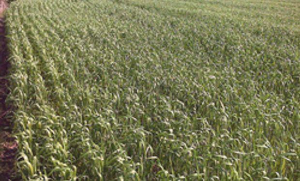 Tras buenas lluvias se recupera el trigo