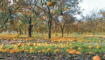 Producción citrícola caerá hasta un 60%