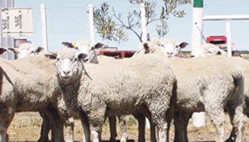 Comarqueña, una nueva raza ovina
