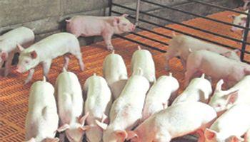 El cerdo aún tiene camino por recorrer