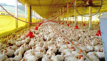 La producción aviar cayó casi 5% en el primer semestre