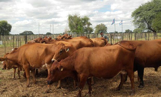 Carne: el valor del novillo argentino se ubica entre los más bajos de la región