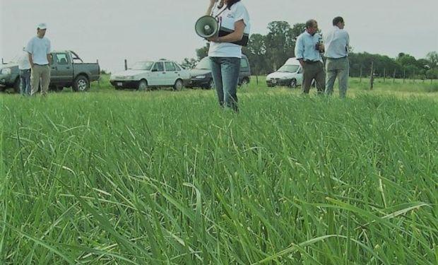 Ranquel INTA es un cultivar de agropiro alargado que se adapta a suelos salino-sódicos y resiste anegamientos temporarios.