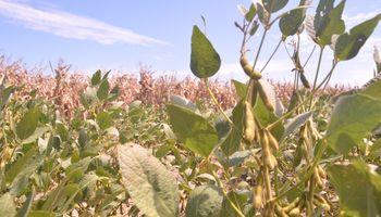 Aprueban tres nuevas semillas de maíz y soja genéticamente modificadas