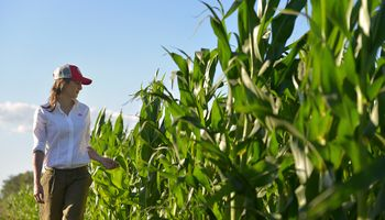 Presentan nuevos híbridos de maíz para el norte del país