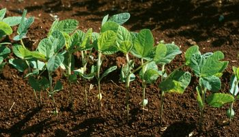 Soja: desarrollo inicial y sanidad desde la nutrición