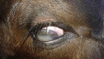 Sanidad animal: ojos blancos en terneros