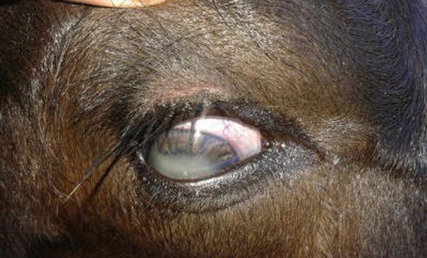 """Dos terneros menores a 5 días de edad, presentaron súbitamente los """"ojos blancos"""". A su vez se mostraban depresivos y apáticos. Fuente: INTA."""