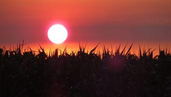 Ola de calor: con posibles daños irreversibles, cómo impacta sobre el maíz
