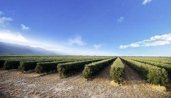 Aceite de oliva: Argentina se consagra como el principal productor de América