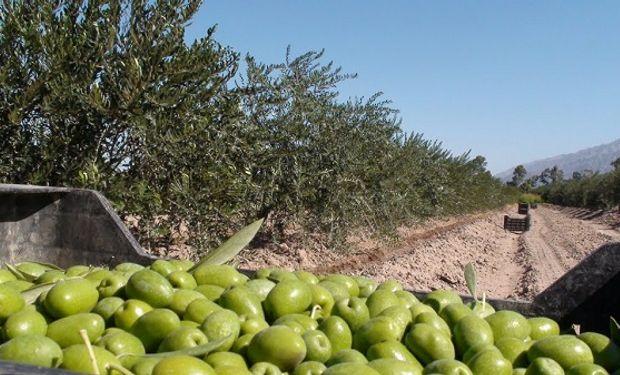 En Argentina se producen más de 45 mil tonelas de olivas.