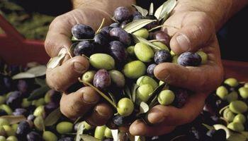 Abandono de la actividad olivícola: CREA advierte de una situación crítica