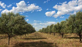 Logran un aceite de oliva en CABA con la calidad del Mediterráneo