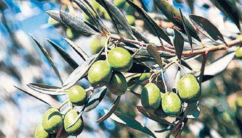 Europa se preocupa por escasez de aceite de oliva