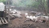 Clausuran un establecimiento y una carnicería por alimentar cerdos con restos de animales muertos