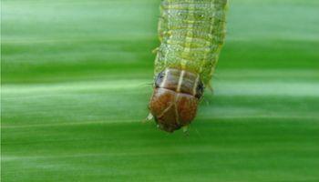 La oruga cogollera pone en JAQUE al maíz