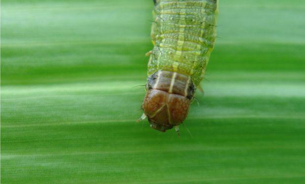 La oruga cogollera es un insecto que proviene de huevos puestos por polillas