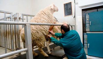 Brucelosis ovina: cómo prevenir la enfermedad