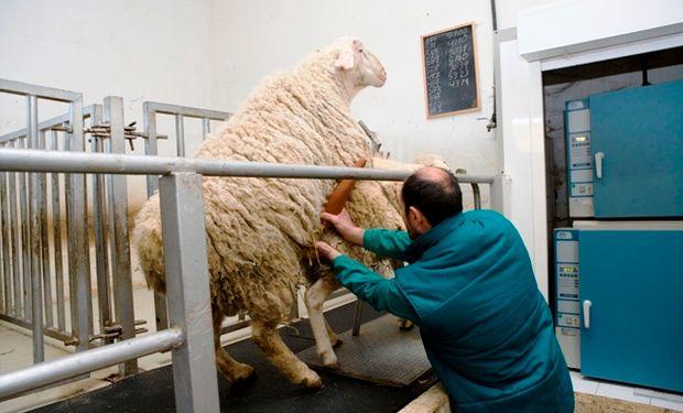 La Brucella ovis es el agente causal más importante de la epididimitis infecciosa de los carneros.