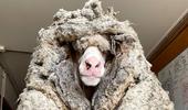 Esquilaron a una oveja con 35 kilos de lana, pero no alcanzó para batir el récord mundial