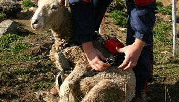 Monitoreo de ovinos por GPS