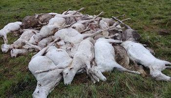 Declaran emergencia agropecuaria en Corrientes por la muerte de más de 5 mil ovejas