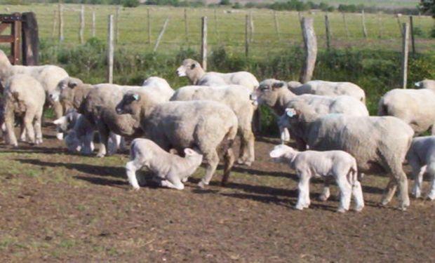 Ganadería ovina en el Delta Entrerriano