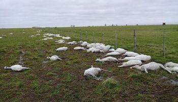 Murieron 5 mil ovejas en Corrientes por hipotermia