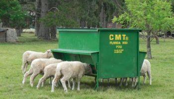 Guía para prevenir la mortandad en corderos recién nacidos