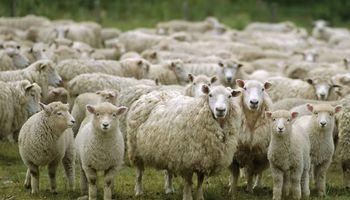 Buenos Aires realizará un estudio sobre la ganadería ovina para potenciar su consumo