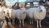 Abren la convocatoria a proyectos que fomenten la producción ovina en Buenos Aires