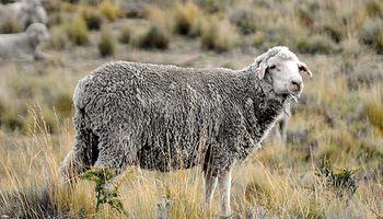 La apertura de China y Japón podría duplicar exportaciones de carne ovina de Santa Cruz