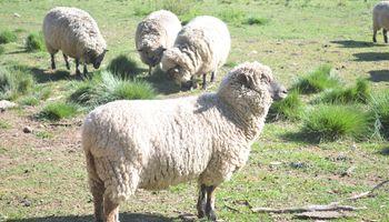 España: estudian el empleo de orujo de uva en la alimentación del ganado ovino