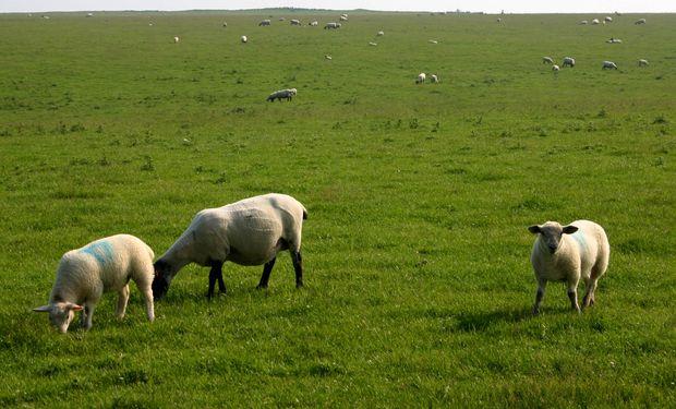 Apuntalar la producción ovina con buena genética